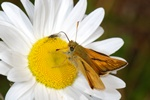 Large Skipper (Ochlodes sylvanus)